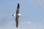 Adult Shy or White-capped Albatross (Thalassarche cauta) in flight in late November.