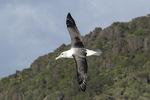 Shy or White-capped Albatross (Thalassarche cauta) in flight in late November.