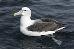 Shy or White-capped Albatross (Thalassarche cauta) in early December.
