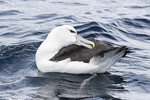 Shy or White-capped Albatross (Thalassarche cauta) preening in early December.