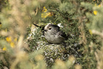 Long-tailed Tit (Aegithalos caudatus) at nest in mid-March.