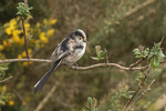 Long-tailed Tit (Aegithalos caudatus) near nest in mid-March.
