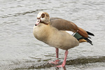 Egyptian Goose (Alopochen aegyptiaca) in mid-March.