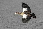 Egyptian Goose (Alopochen aegyptiaca) in flight in mid-March.