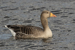 Greylag Goose (Anser anser) in mid-March.