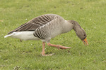 Greylag Goose (Anser anser) grazing on lawn in mid-March.