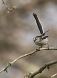 Long-tailed Tit (Aegithalos caudatus) in mid-March.