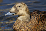 Female Spectacled Eider (Somateria fischeri) in mid-March. CAPTIVE.