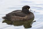 Female Tufted Duck (Aythya fuligula) in mid-March.