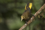 Russet-backed Oropendola (Psarocolius angustifrons) in late January.