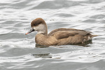 Female Red-crested Pochard (Netta rufina) in mid-March.