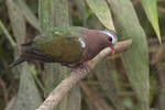 Male Common Emerald Dove (Chalcophaps indica) in mid-February.