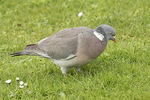 Common Wood Pigeon (Columba palumbus) foraging on lawn in mid-March.