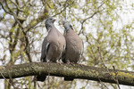 Common Wood Pigeon (Columba palumbus) courting pair, male at left, in mid-March.