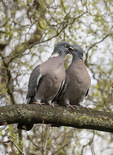 Common Wood Pigeon (Columba palumbus) courting pair, male at left feeding female, in mid-March.