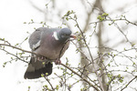 Common Wood Pigeon (Columba palumbus) feeding on buds in mid-March.