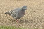 Stock Dove (Columba oenas) in mid-March.