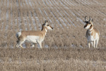 Pronghorn (Antilocarpa americana) pair, female at left, in early February.