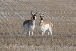 Pronghorn (Antilocarpa americana) pair, male at left, in early February.