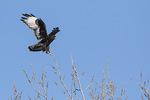 Dark Morph Rough-legged Hawk (Buteo lagopus) in flight in early February.