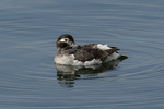 Female Long-tailed Duck (Clangula hyemalis) in mid-April.