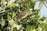 Silvereye (Zosterops lateralis), or Tauhou, in late November.