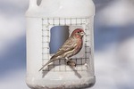 Male House Finch (Haemorhous mexicanus) at home-made feeder in late January.