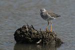 Greater Yellowlegs (Tringa melanoleuca) in mid-April on spring migration.