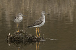 Two Greater Yellowlegs (Tringa melanoleuca) in late April on spring migration.