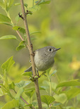 Ruby-crowned Kinglet (Regulus calendula) on spring migration in late April.
