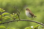 Veery (Catharus fuscescens) on spring migration in early May.