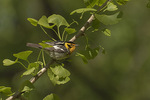 Male Blackburnian Warbler (Setophaga fusca) in Ginkgo in mid-May on spring migration.