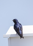 Male Purple Martin (Progne subis) perched on martin house in mid-April.