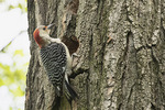 Female Red-bellied Woodpecker (Melanerpes carolinus) excavating nest in Black Locust (Gleditsia triacanthos) in mid-May.