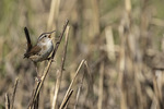 Marsh Wren (Cistothorus palustris) singing on territory in late May.