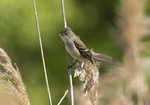 Willow Flycatcher (Empidonax traillii) perched in phragmites in late May.