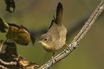 Female Common Yellowthroat (Geothlypis trichas) in mid-September.