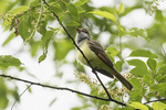 First-spring Great Crested Flycatcher (Myiarchus crinitus) singing in late May.