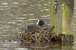 Eurasian Coot (Fulica atra) at nest in mid-March.