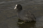 Eurasian Coot (Fulica atra) in mid-March.