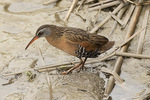 Virginia Rail (Rallus limicola) in late May.