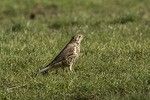 Mistle Thrush (Turdus viscivorus) in mid-March.