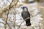 Eurasian Jackdaw (Corvus monedula) in mid-March.