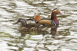 Mandarin Duck (Aix galericulata) pair in mid-March.