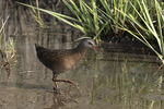 Virginia Rail (Rallus limicola) in early June.