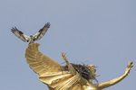 Adult Osprey (Pandion haliaetus) at nest on World War I monument Winged Victory in early June.