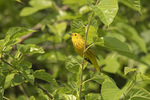 Singing male Yellow Warbler (Setophaga petechia) in early June.
