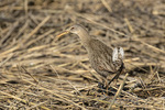 Clapper Rail (Rallus crepitans) in early June.