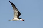 Adult Black Skimmer (Rynchops niger) in flight in mid-June.