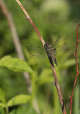 Four-spotted Skimmer (Libellula quadrimaculata) in late June.
